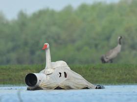你在學 24孝吧!攝影師把自己假扮成天鵝,拍出絕妙的同類照片