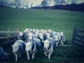 牧羊人與 Twitter,老傳統與新科技
