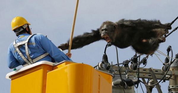 現代版「金剛」:讓日本網友瘋狂的日本仙台市動物園黑猩猩大逃亡
