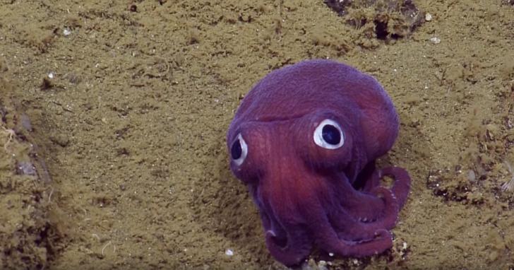 讓發現它的科學家不小心集體笑翻的這只海底小「怪物」