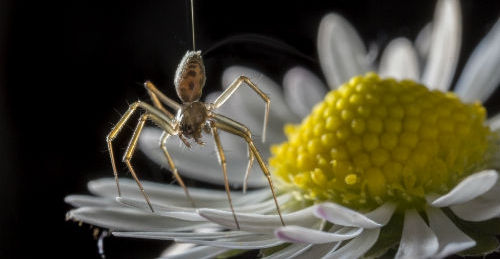 風不是主力,新研究發現:蜘蛛仰賴全球電場起飛