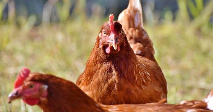 現代人年吃 600 億隻雞,幾千年後經考古可能因此得名「肉雞人」