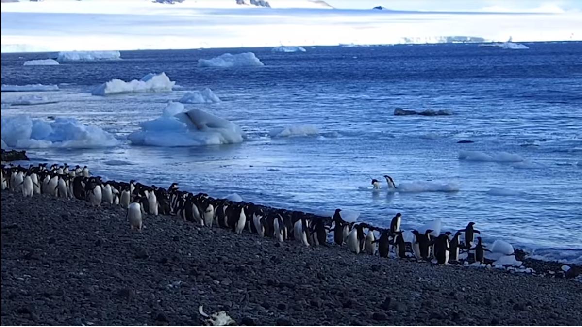 企鵝大便的衛星圖像能反映氣候變化? 是真的
