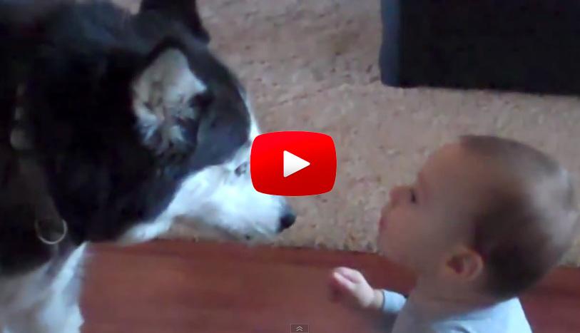 【試圖與嬰兒溝通的狗】