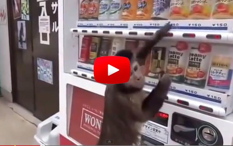 【猴子也會投販賣機飲料】
