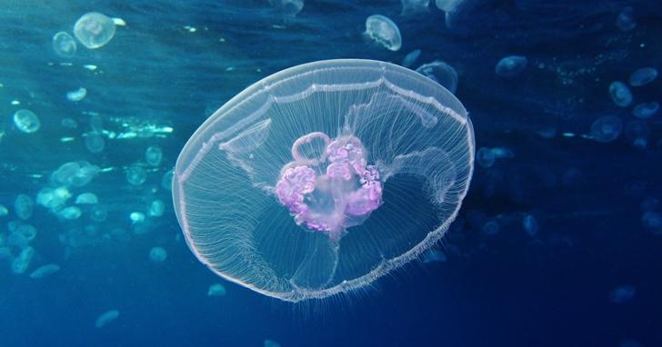 不死的水母能幫助人類實現永生的夢想嗎?