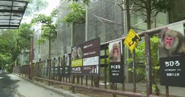 沖繩動物園14隻脫逃猴事件後續反轉,竟是飼育員忘記將門鎖上