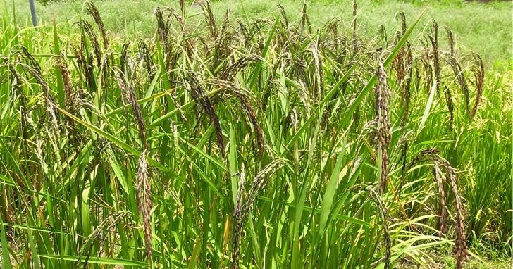 台灣稻米身世