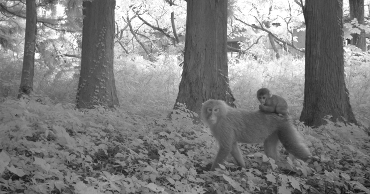 十年後的日本福島從禁區變野生動物「天堂」,這些是被記錄下來的影片及照片