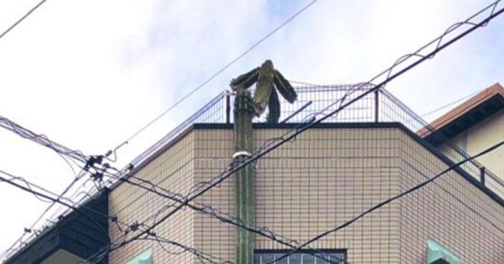 日本網友在街頭見到仙人掌「奮發向上」,不但長到三層樓高還幻化人形
