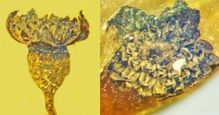 科學家在一億年前的琥珀中發現「令人驚嘆」的新花種